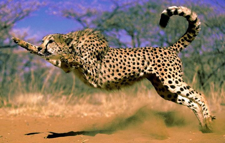 Gepard-v-pryzhke